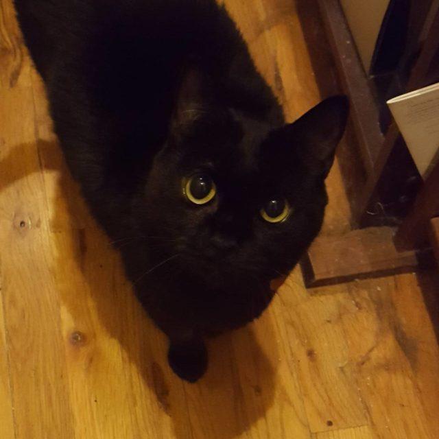 My little Sydney girl blackcats adoptdontshop allforanimalstv rescuecatsofinstagram catsofinstagram